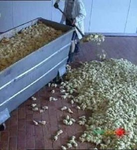 male chicks being shoveled