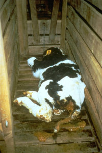 veal-calf-lying-down